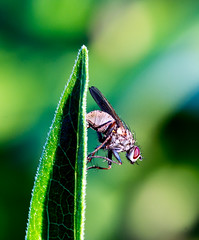 fly ready for take off (Danyel B. Photography) Tags: fly fliege details sharp dof macro makro nature natur insect insekt leaf blatt plant pflanze