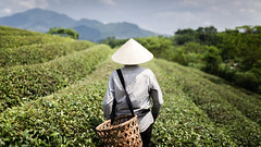 Tea picker (Asian Hideaways Photography) Tags: asia asian exterior tea teafield greentea travel travelphotography vietnam people southeastasia farmer landscape woman candid naturallight conicalhat