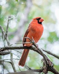 Cardinal (madhu.shesharam) Tags: red bird canon texas cardinal madhu madhucs shesharam
