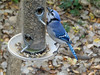 Blue Jay (2) (bookworm1225) Tags: zoo october 2014 minnesotazoo northerntrail tropicstrail