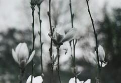 Magnolia (Turikan) Tags: stand 8 dev magnolia 100 jupiter rodinal apx fed5 agfaphoto fedcamera