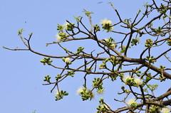 kumbhi flowers_Careya arborea_Lecythidaceae_Aarey_2014 03 30 (2) (Shubhada Nikharge) Tags: tree native deciduous indigenous lecythidaceae aarey aareymilkcolony careyaarborea kumbhi aareycolony mumbaiflora nativetoindia floraofmumbai