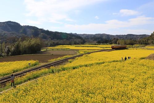 黄色の絨毯の中を走る小湊鉄道