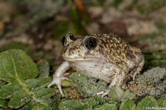 Sapo-de-unha-negra (dragoms) Tags: amphibian toad sapo mindelo anfibios anfbio pelobatescultripes sapodeunhanegra iberianspadefoottoad dragoms