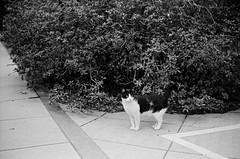 Leica_m_BW_5445_M50F14BP_Delta400 (OPTIK AXIS) Tags: camera leica blackandwhite film cat taiwan monochromatic 135   ilford   rf  50mmf14 leicacamera delta400   blackandwhitefilm eica summiluxm      analoguephotography  mp85  summiluxm11450 m garylevel summiluxm11450e46 blackpaintfinish