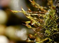 Moss (d_salter) Tags: macro moss dew fujifilm xm1 extentiontubes mcex16