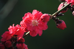 flowering plum2 (whitewoodCHI) Tags: floweringplum floweringalmond