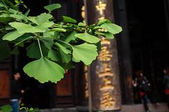 Ginkgo Biloba au temple de Wenshu