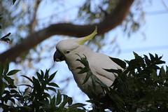 cooks-river-120716-024 (alison.klein) Tags: cockatoo australianbirds cooksriver
