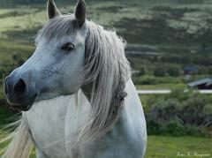 Horse greetings! (K. Haagestad) Tags: horse animal hest arabhorse shagyaaraber shagyaarab araberhest