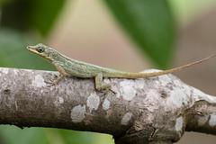 _A166075 (RAStr) Tags: animal reptile lizard caribbean antilles anolis