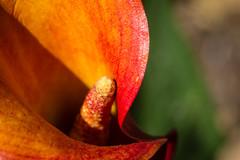 Orange Calla (San Francisco Gal) Tags: calla lily flower fleur bloom blossom macro orange zantedeschiaaethiopica arum inflorescence spadix spathe leaf bokeh ngc