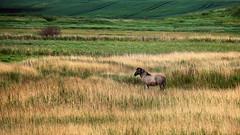 Konik Wildpferd (Knipser31405) Tags: frhjahr nsggeltingerbirk ostsee 2016 koniks pferd angeln
