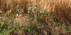 10-IMG_2963 (hemingwayfoto) Tags: bayern bayrisch blhen blumen feldrain gerste getreide hallertau landwirtschaft natur pflanze