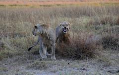 Lion Scent VII (www.mattprior.co.uk) Tags: adventure adventurer journey explore experience expedition safari africa southafrica botswana zimbabwe zambia overland nature animals lion crocodile zebra buffalo camp sleep elephant giraffe leopard sunrise sunset