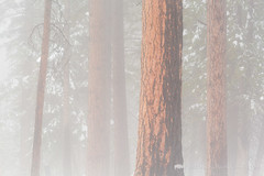 Pine Trees in Fog (Free Roaming Photography) Tags: americansouthwest arizona arizonatrail coloradoplateau desertsouthwest fog foggyweather highdesert kaibabnationalforest kaibabplateau northernarizona pineforest ponderosapinetrees snow treetrunks winterweather jacoblake unitedstates