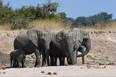 10075756 (wolfgangkaehler) Tags: africa elephant mammal nationalpark digging african wildlife dry zambia africanelephant babyelephant southernafrica animalbabies babyanimal babyanimals 2016 zambian dryriverbed southluangwanationalpark animalbaby africanelephantloxodontaafricana diggingforwater
