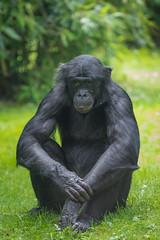 2016-07-07-0123 (BZD1) Tags: bonobo animal synapsida mammal prim haplorhini hominidae hominini pan nature koelnerzoo panpaniscus