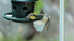 Food Fight! (blazer8696) Tags: 2016 brookfield ct connecticut ecw obtusehill t2016 usa unitedstates american americangoldfinch baeolophus baeolophusbicolor bicolor fight food fringillidae goldfinch img9393 paridae passeriformes spinus spinustristis titmouse tristis tufted tuftedtitmouse