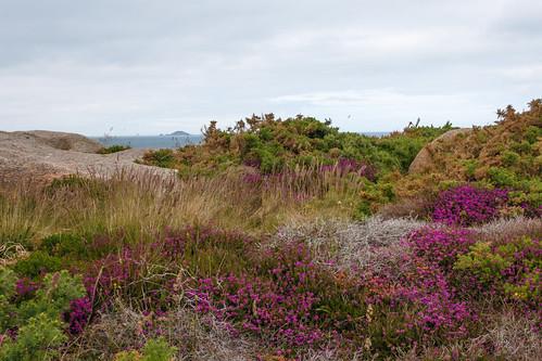 Bruyère (Calluna vulgaris) dans la lande de Ploumanac'h