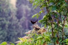 Ich hab den Schnabel voll (tastentipper72) Tags: amsel turdusmerula vogel schwarz baum natur