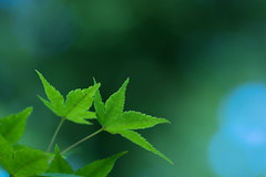 secret love affair (hitohira_) Tags: flower flowers nature bokeh maple leaves
