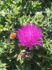 L'abeille (Paul.V_BZH) Tags: iphone6 chardons couleur nature fleurs fleur iledaix couleurs chardon abeille