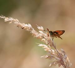 LULWORTH SKIPPER (Bradders62) Tags: lulworthskipper canoneos sigma eastchaldon purbeckdorset dorset southwest skipper butterflies butterfly insects wildlife nature