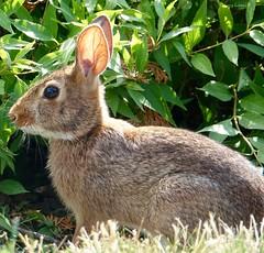 Mug Shot (Harry Lipson) Tags: rabbit bunny fur furry ears whiskers bunnyrabbit harrylipsoniii harrylipson sonydscrx10iii bunnaroo