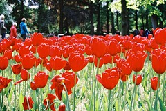 000004 (seustace2003) Tags: keukenhof nederland niederlande holland pays bas paesi bassi an sitr tulip tulp tulipan tiilip tulipa
