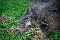 Forsakar (MagnusBengtsson) Tags: forsakar landskap skne sommar sverige djur gris