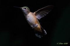 IMG_9553 broadtail hummingbird (starc283) Tags: bird birding starc283 hummingbird broadtailhummingbird broadtailedhummingbird nature naturesfinest canon canon7d