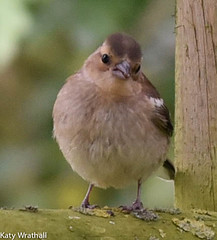 Chaffinch juvenile (Katy Wrathall) Tags: 2016 eastriding eastyorkshire england july summer garden