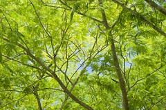 Verdes de Yucatn en Kabah (scanudas) Tags: naturaleza ramas verdes yucatn vegetacin plants