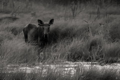 Moose foraging late on a summers evening (jazzyjacjac) Tags: moose wild algonquin