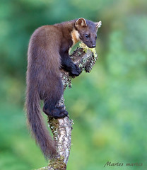 Pine Marten (Chas Moonie-Wild Photography) Tags: pine marten wild scotland chas moonie martes