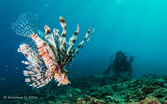 Diver and  Lionfish (Kazuma U) Tags: diver lionfish okinawa japan scuba diving underwater underwaterphoto olympus inon padi