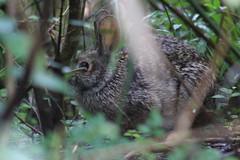 IMG_2431 (im2fast4u2c) Tags: rabbit wildlife animal wilderness wild