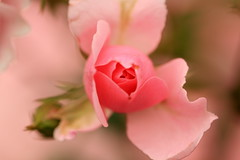 Roses in full bloom (Northern_Night_Sky) Tags: roses macro macrophotography kewgardens london londongardens outdoor nature pink green dof depthoffield