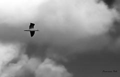 Gaviota en gris (Fotgrafo-robby25) Tags: aves byn fujifilmxt1 gaviotas