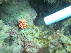 GCMP_sample_photo_1286 (r.mcminds) Tags: ii hexacorallian scleractinian islacontadora needsspeciesid pacificocean idbyjoepollock cnidaria gcmp e112tubsp320150501 anthozoan indopacific complex tubastraeasp panama taxonomyuncertain islasdelasperlas gcmpsample metazoan tubastraea animal cnidarian dendrophylliidae globalcoralmicrobiomeproject hardcoral orangecupcoral pw169 stonycoral saboga panamá pa