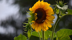 Sunflower in the rain (cernicb) Tags: sunflower flower leaf petals rain droplet water green