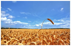 I'm better than my friends (Smarron) Tags: nikon d750 fx sigma 1735mm corn fields denmark lavensby nordborg graanveld graan hdr photomatix blue sky
