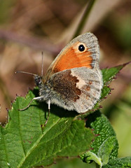 Small Heath (Gaz-zee-boh) Tags: butterfly swanage dorset purbeckway insect nature lepidoptera uk almostanything d7k nikon