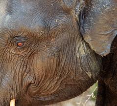 Freshly bathed (MKBirder) Tags: srilanka elephants udawalawenationalpark bathing drinking spraying familygroups wildlife mammals safari