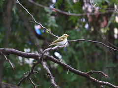S0404413 (Dimiter Popoff) Tags: woodwarbler