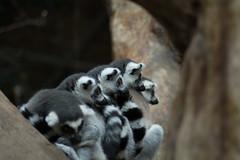 Lemur (benevolentkira7) Tags: lemur lemurs animal small tiny grey white black bokeh close up tree nature outdoors outside kingdom striped loud scream