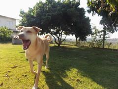 DSCN0397 (DCalgaro) Tags: mixbreed dog viralata srd semraadefinida barking