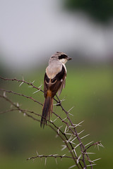 Capsigrany cuallarg (Lanius schach) (Aicbon) Tags: verde alcaudon capsigrany botx ocell ave bird wildlife india indian ranthambore ranthamborezone8 zone8 nationalpark anytiger pajarito nature naturaleza monsoon raining espinas pajaroasesino capsigranycuallarg laniusschach shrike longtailedshrike