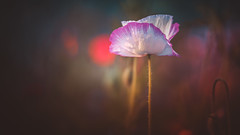 Shirley Poppy (Dhina A) Tags: sony a7rii ilce7rm2 a7r2 carlzeissjenakipronar120mmf19 vintage cine projectionlens projectorlens petzval shirley poppy flower wildflower